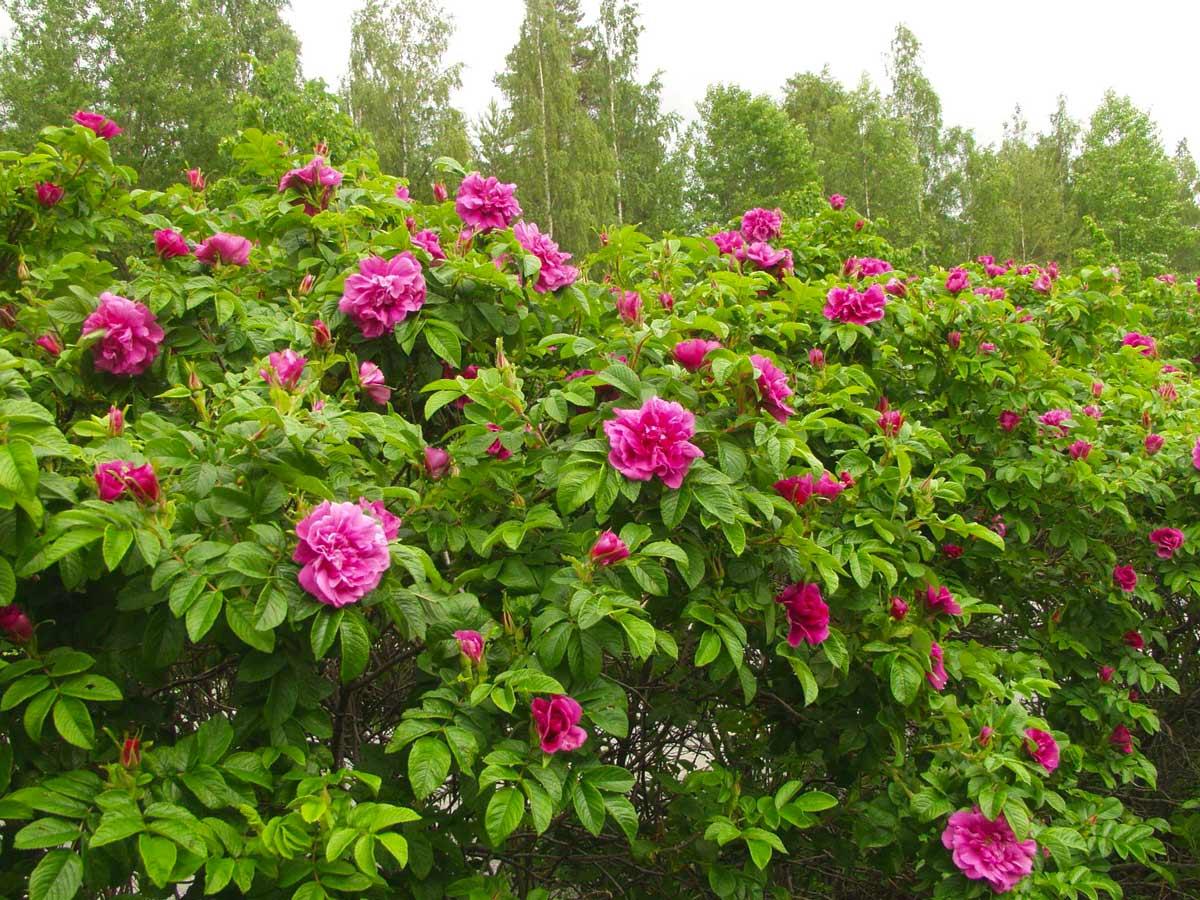 Шиповник - цветущий кустарник для дачи