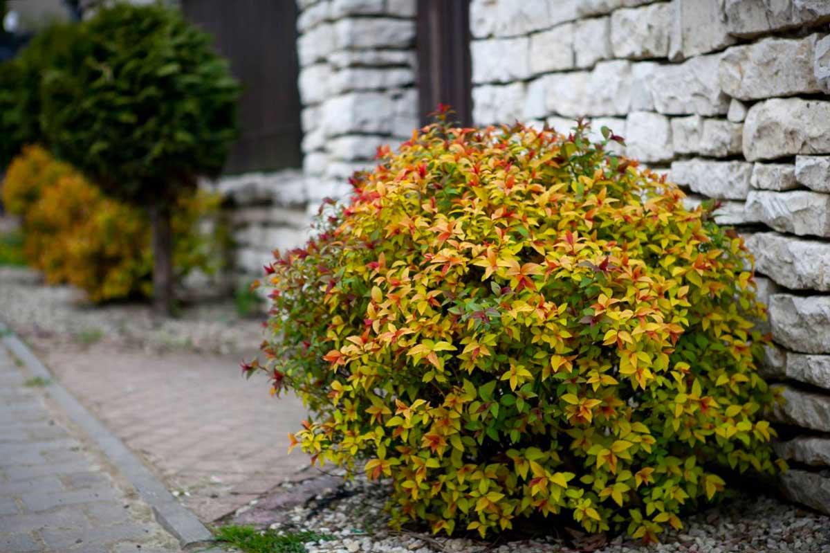 Спирея японская Мэджик Карпет (Spiraea japonica Magic Carpet)