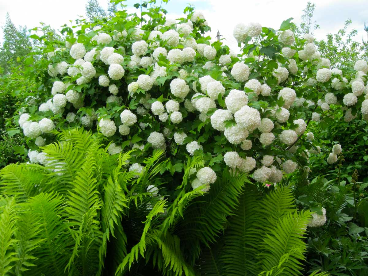 Калина - цветущий кустарник для дачи