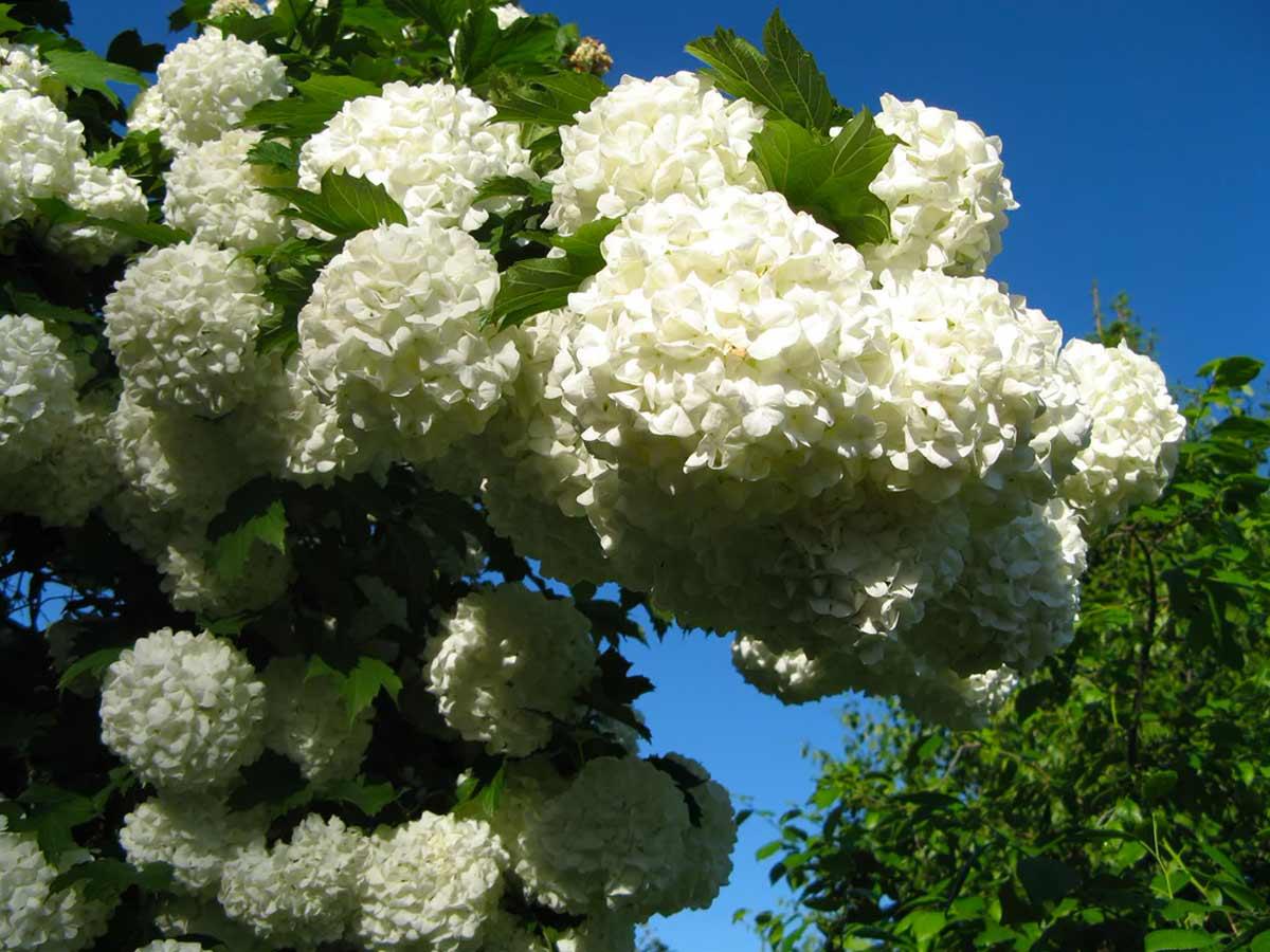 Калина бульденеж - цветущий кустарник для дачи