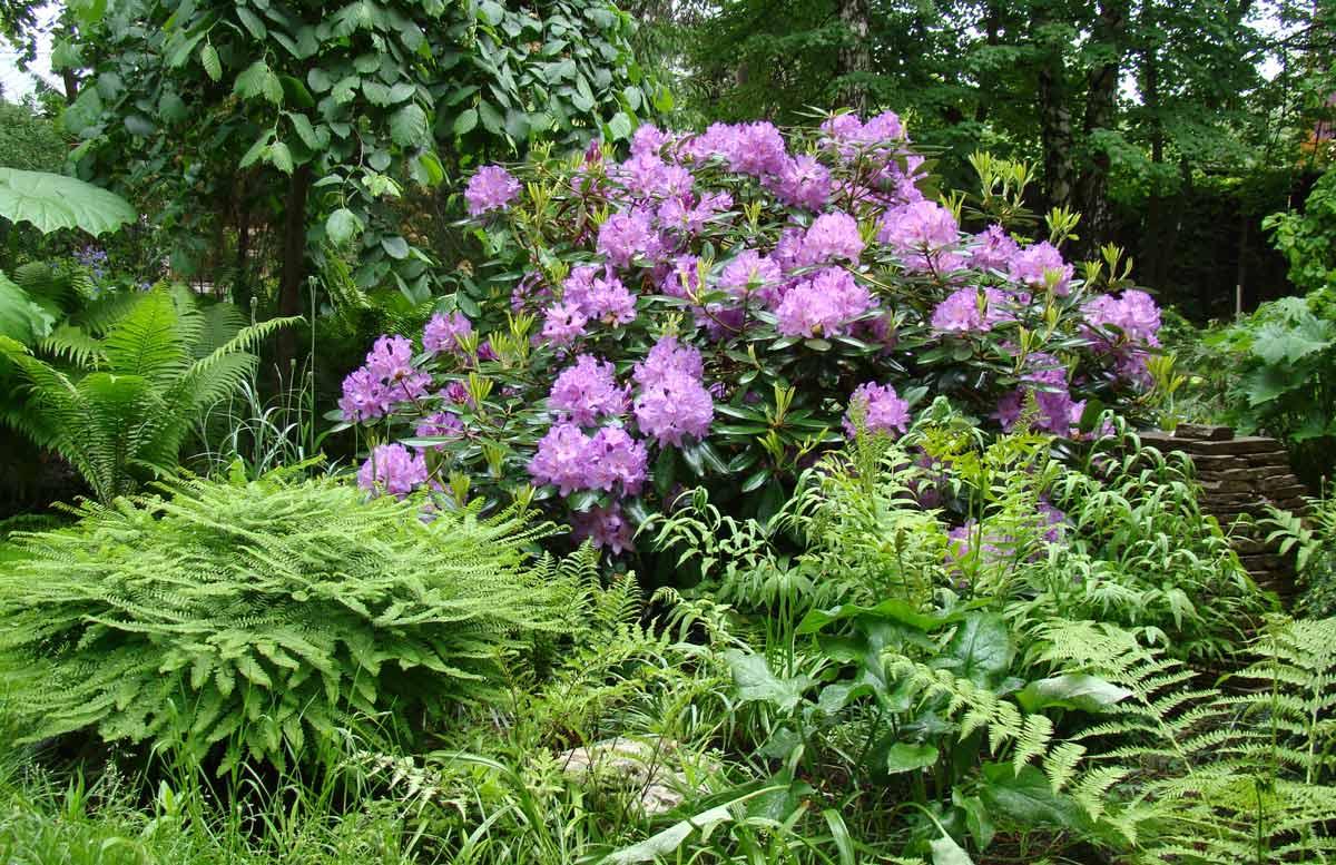 Садовая композиция рододендроном фото