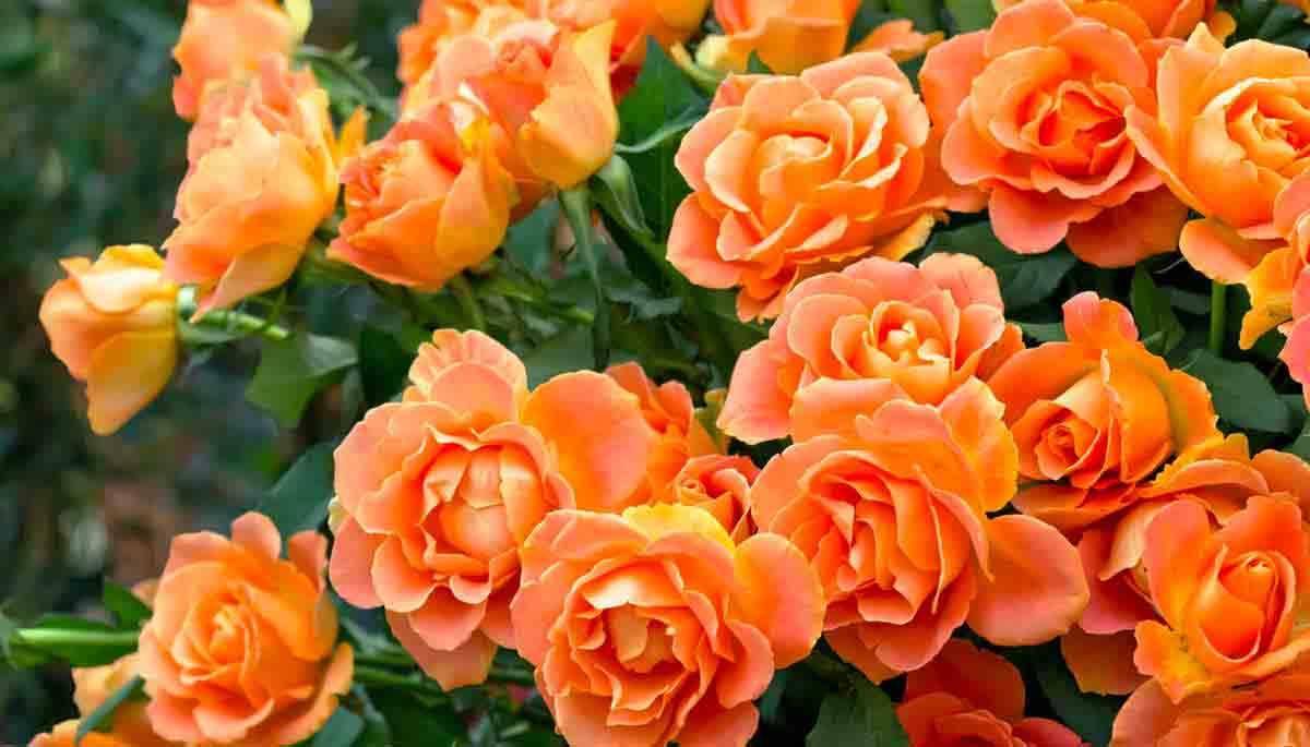 Цвета роз