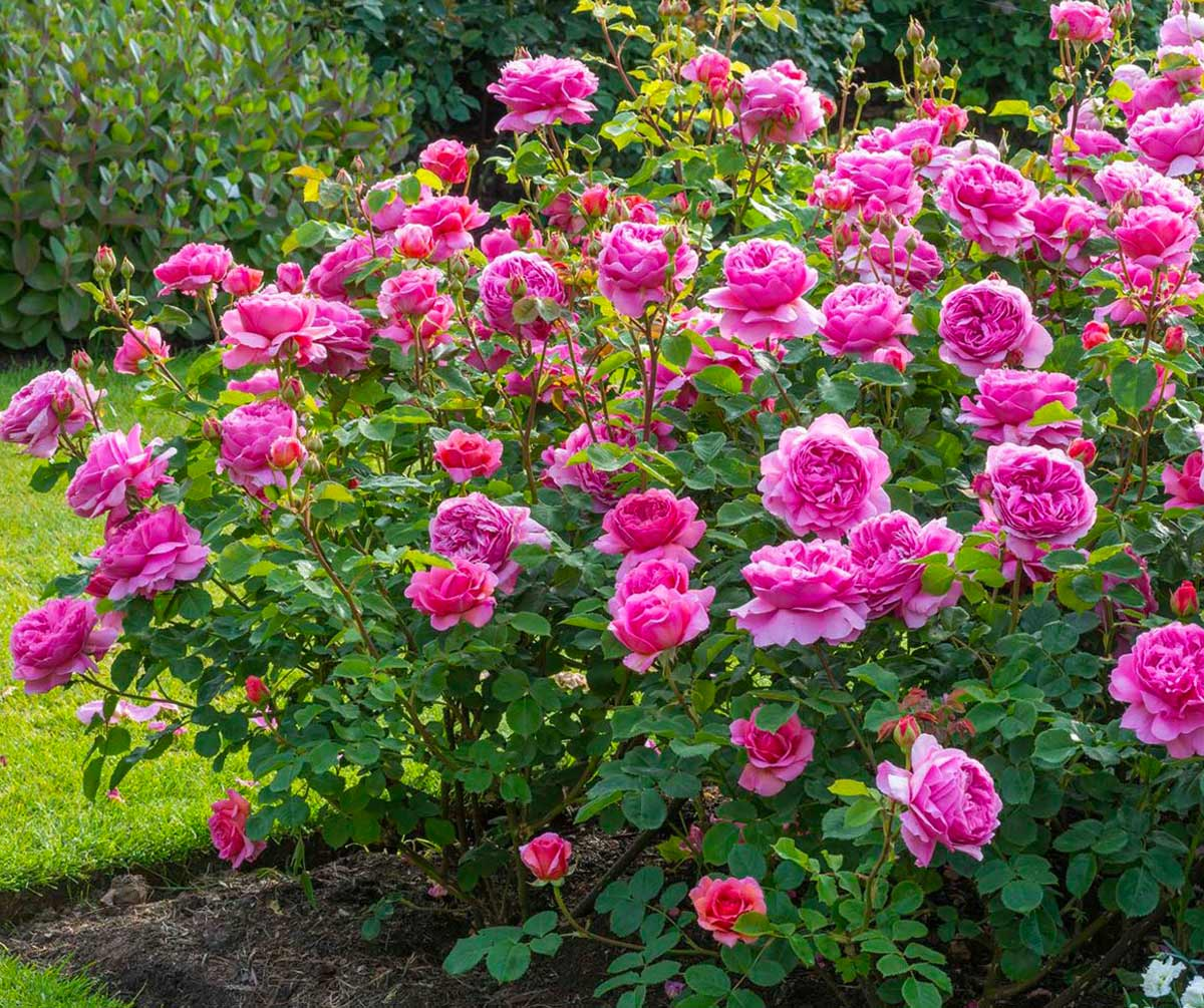 Кустовые розы, Артикул: А817145 - 13781 RUB, доставка по городу за ... | 1005x1200