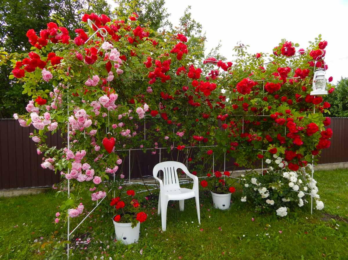 вьющиеся розы уход