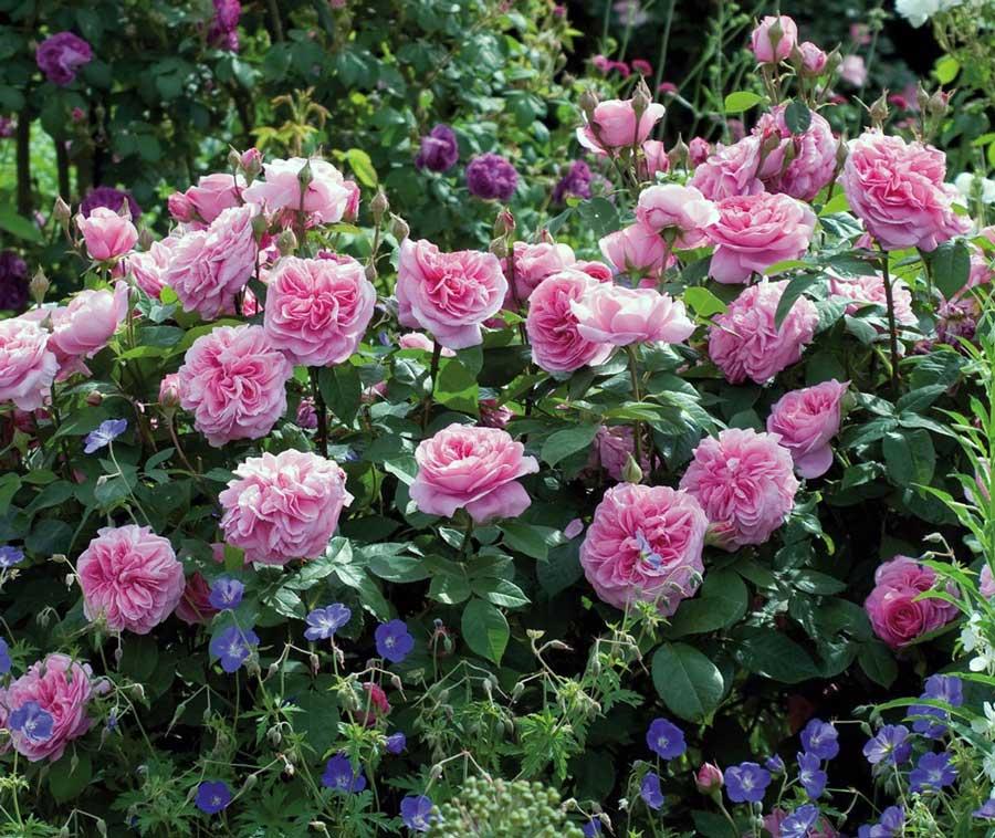 10 штпакет Редкие Герань Семена аплблоссом бутон розы
