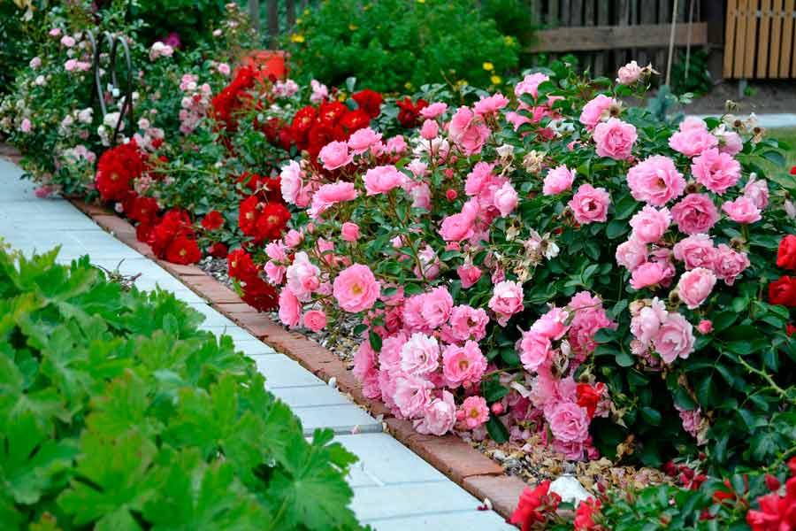 Купить розы на посадку к заказ цветов подольск