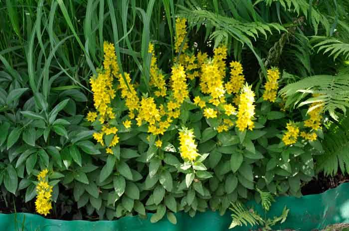желтые многолетние садовые цветы фото и названия