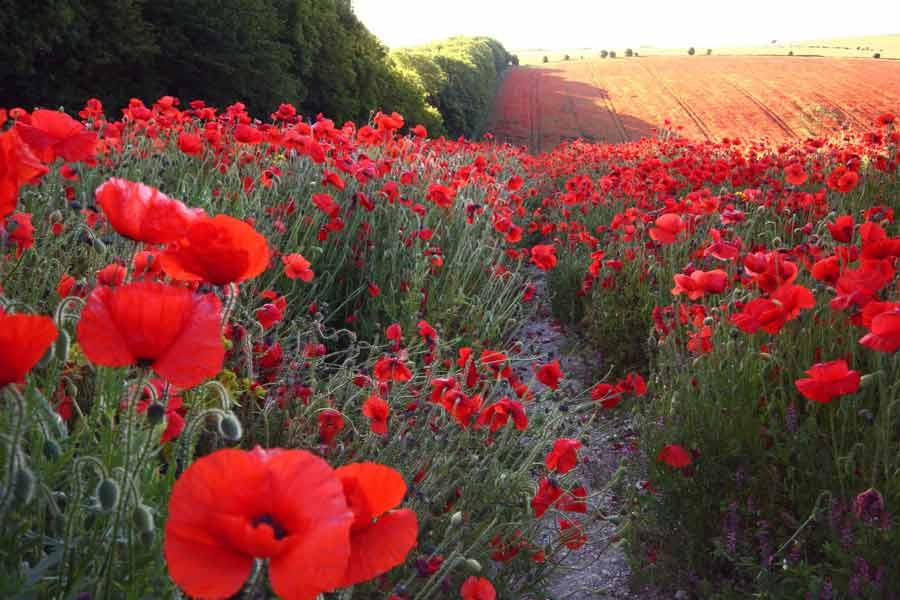 картинки с поле цветами