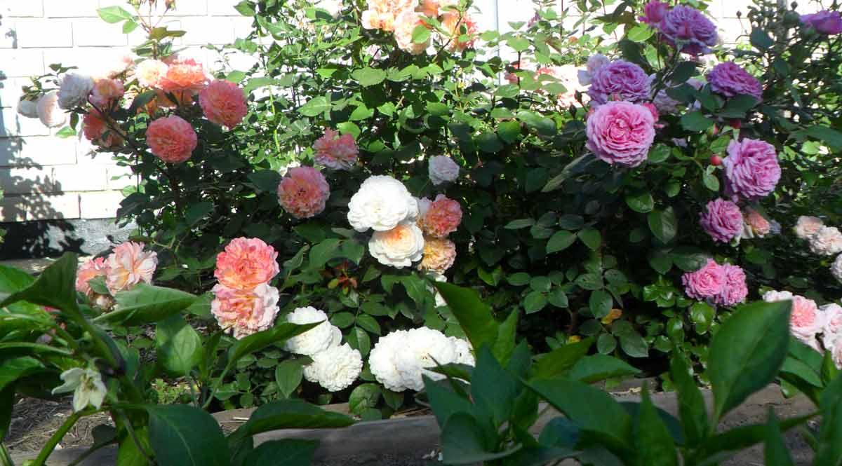 Розы в дизайне вашего сада: фото розариев на дачном Розы в дизайне сада
