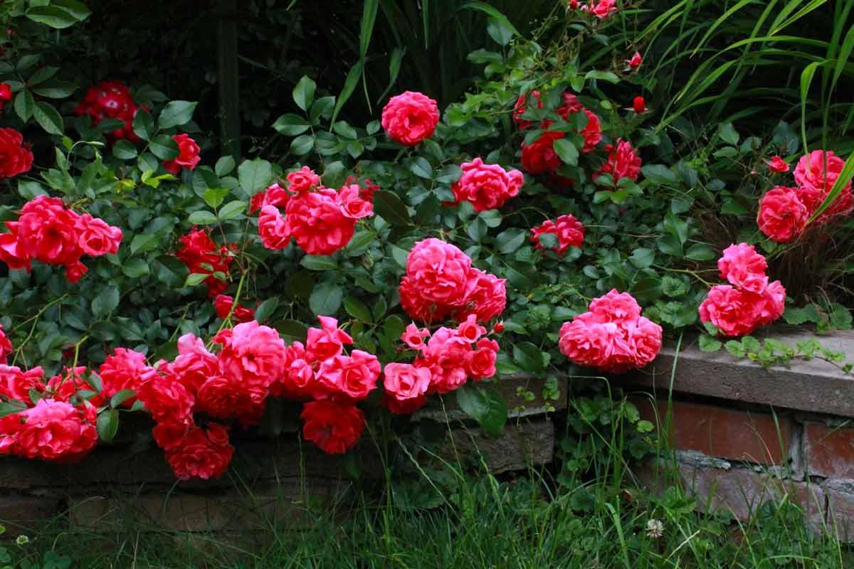 Стелющиеся розы фото и названия