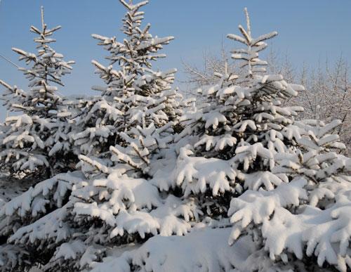 Хвойные растения зимой