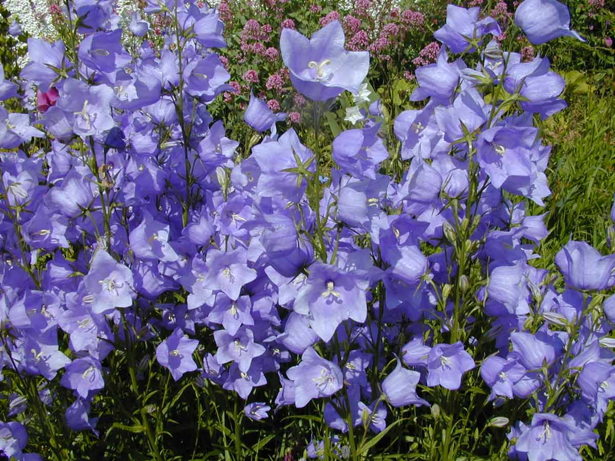 Колокольчики фото цветов в саду