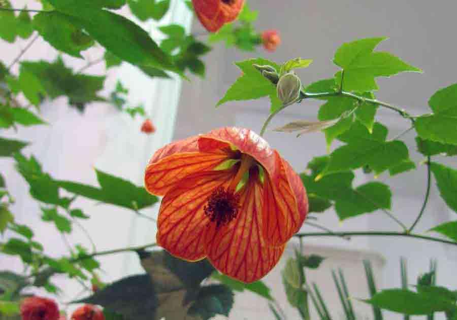 Крупные однолетние цветы фото и название