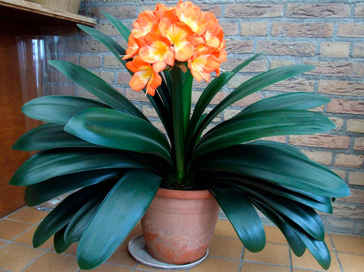 Цветок кливия уход в домашних условиях
