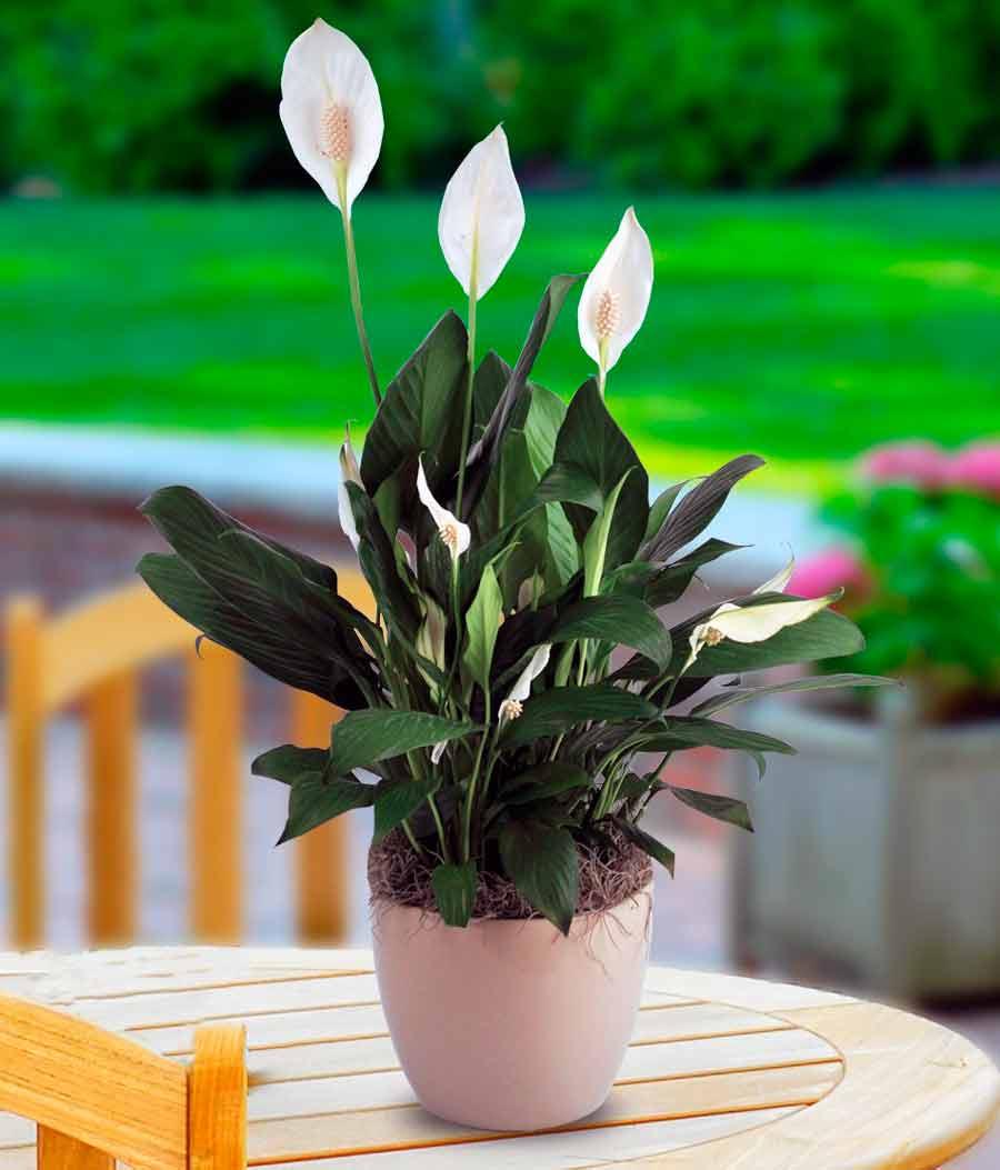 Цвета спатифиллум