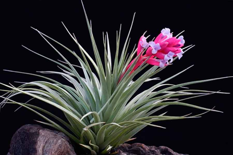 цветок тилландсия картинки того, этом