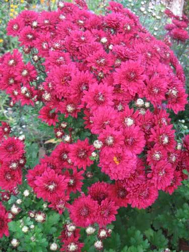Что добавить в воду чтобы хризантемы дольше стояли в вазе