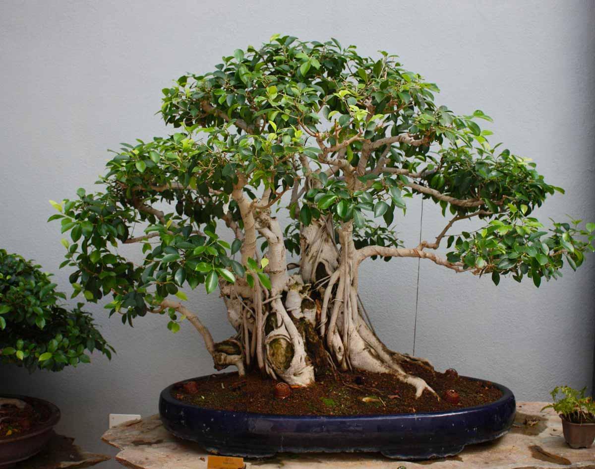 как поливать дерево бонсай