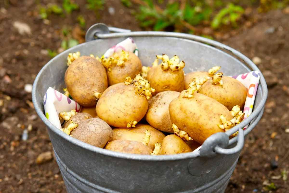 Картинка картофель с ростками