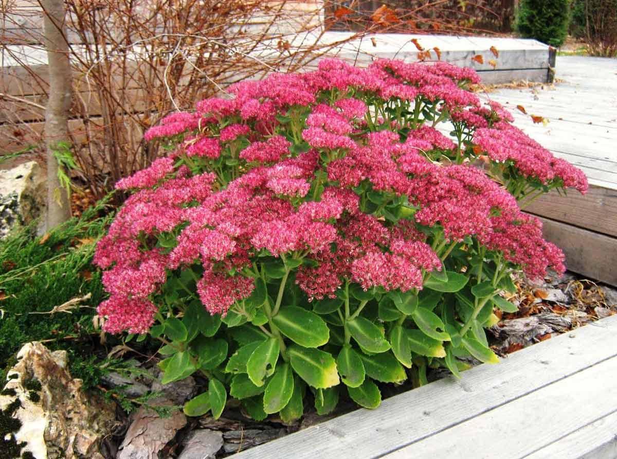 садовые цветы с мясистыми листьями фото чуть подробнее