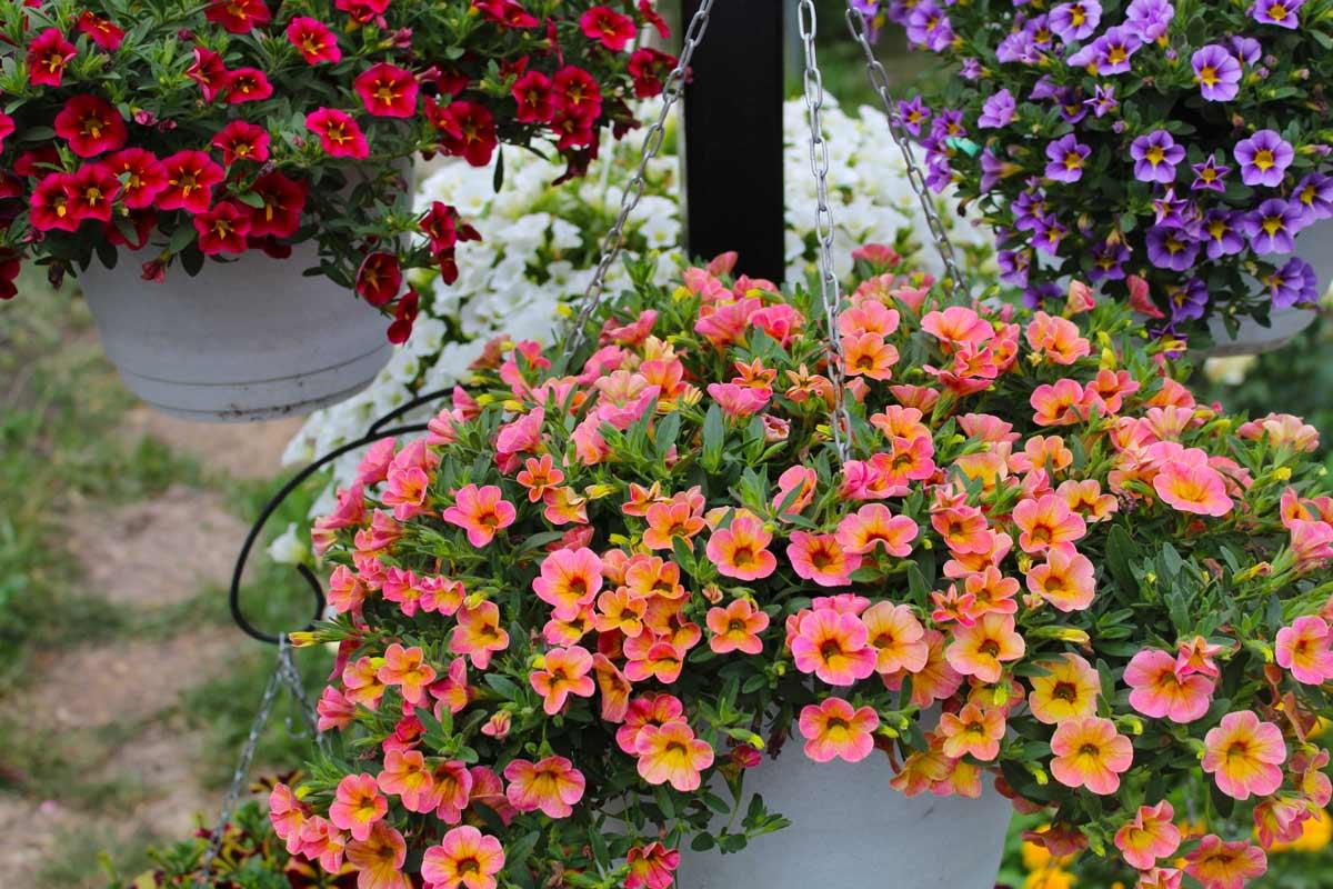 цветок калибрахоа фото посадка и уход отзывы