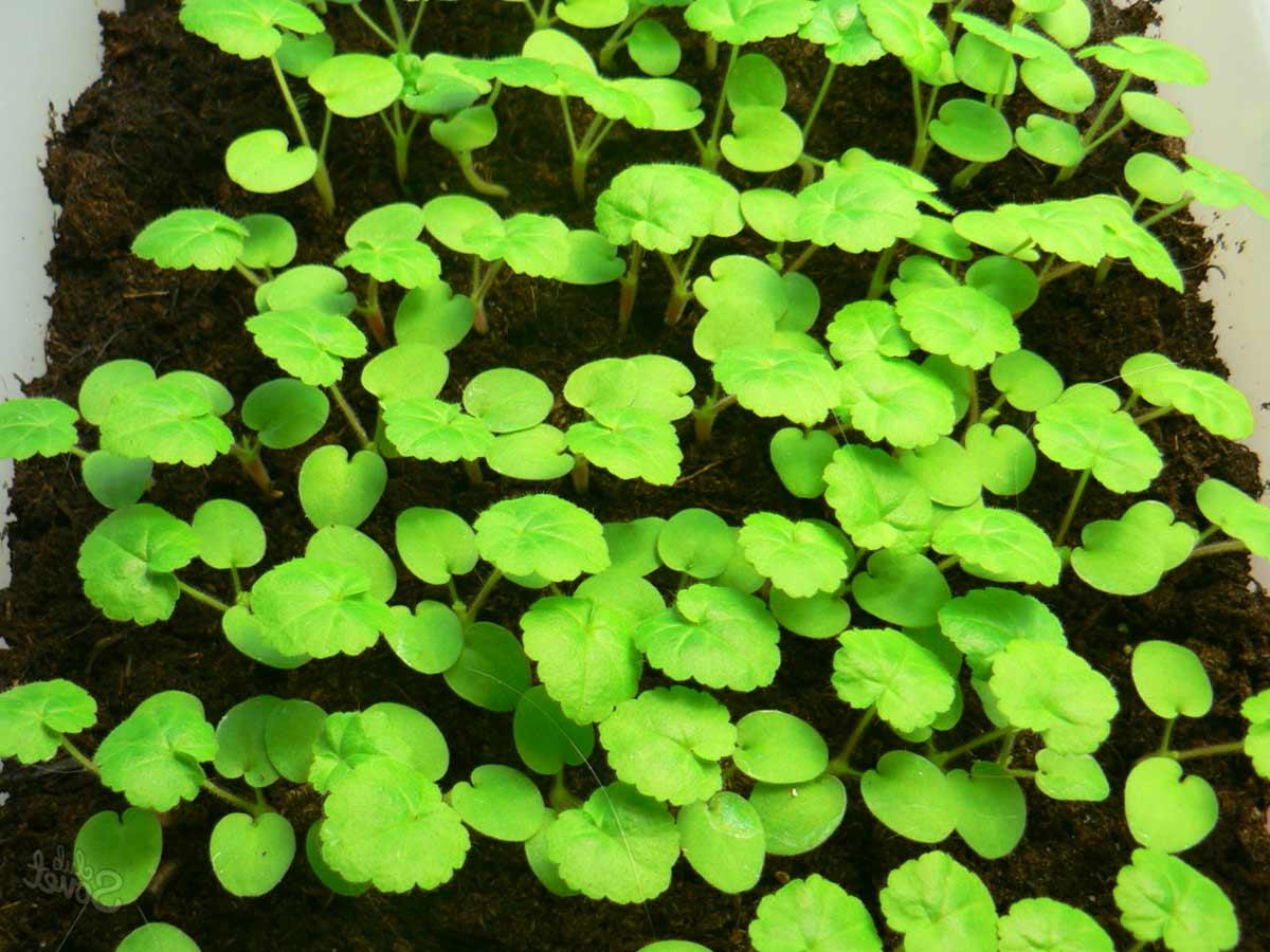 Пеларгония выращивание из семян с фото 36
