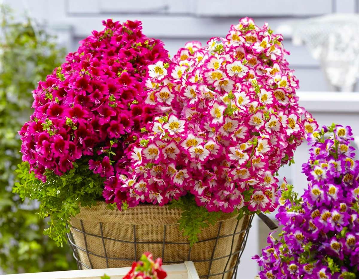 Схизантус, посадка и уход, выращивание ...: www.flo.discus-club.ru/shizantus.html