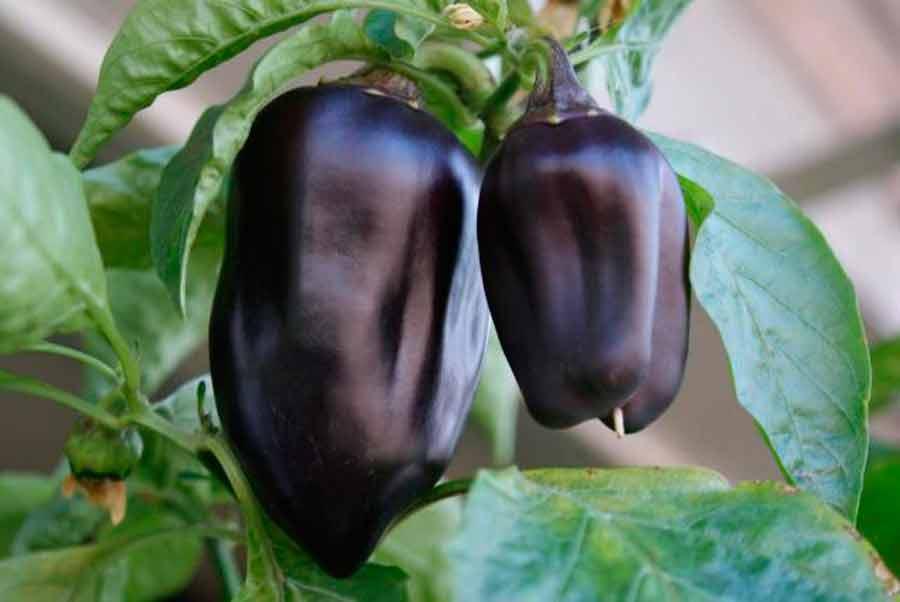 серебристая квадратная почему на плодах перца появился фиолетовый оттенок разрешенные