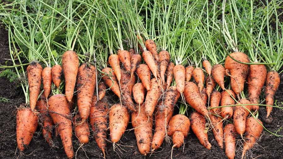 парня красивый морковь которую сильно поливали фото том