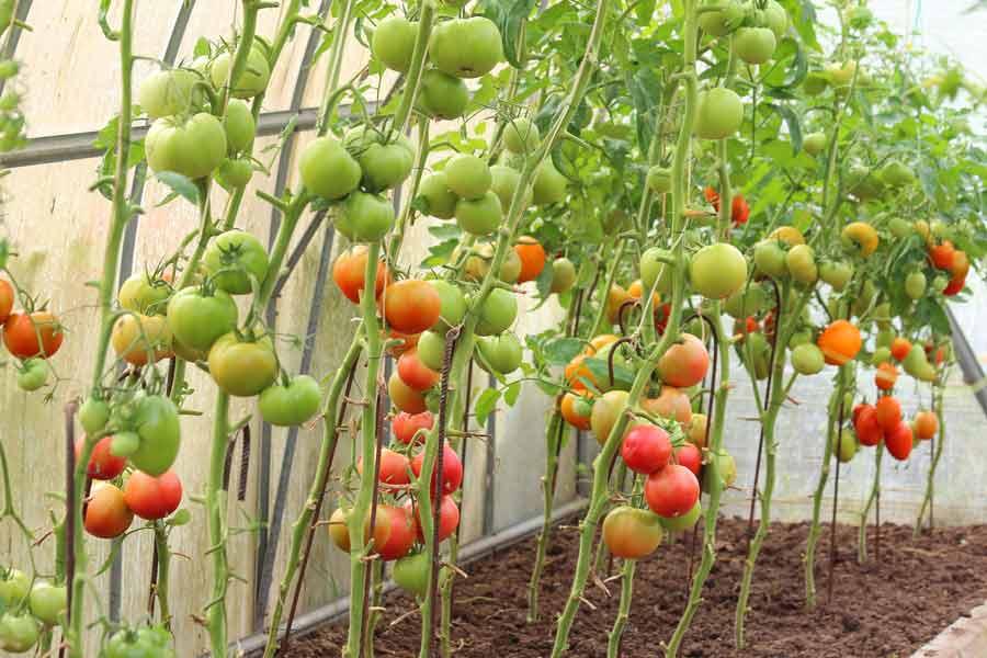 Конвейер для томатов шнековый конвейер винтовой купить