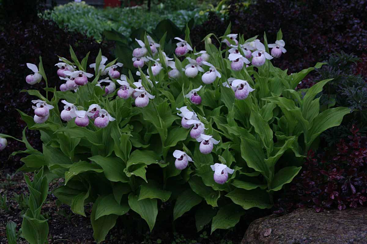 Садовые орхидеи